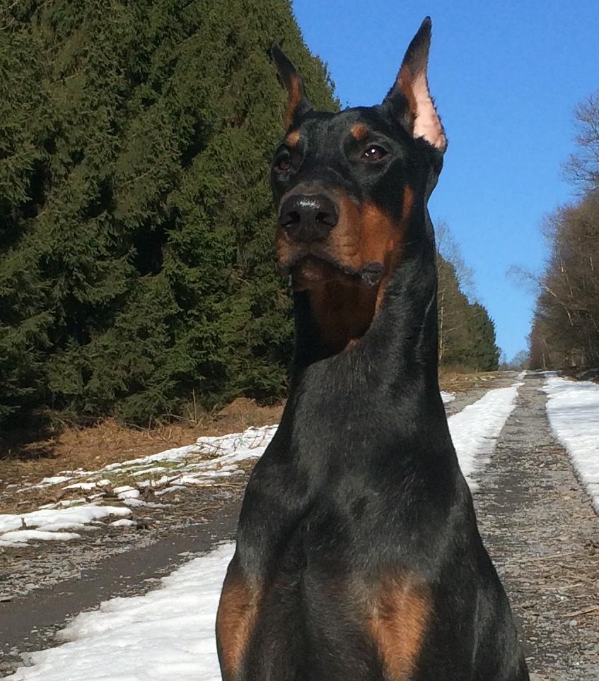 Dobermanns vendre vente de dobermanns - Vente dobermann oreilles coupees ...